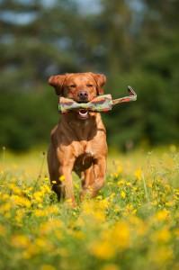 Rennender Labrador Retriever apportiert Futterdummy