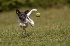 Jack Russel beim Fangen eines Balls